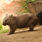 pixwords deutsch WOMBAT