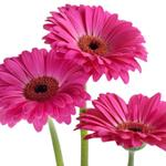 pixwords deutsch GERBERA