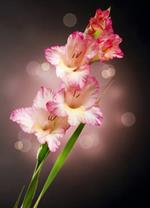 pixwords deutsch GLADIOLE