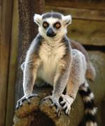 pixwords deutsch LEMUR