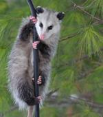 pixwords deutsch OPOSSUM