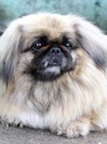 pixwords deutsch PEKINESE