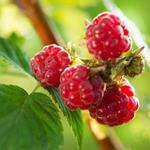 pixwords deutsch HIMBEEREN